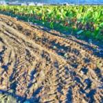 2016海老芋収穫開始。