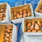 2017海老芋集荷再開。