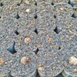 2017海老芋の苗づくりスタート