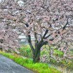 2017 今年の桜